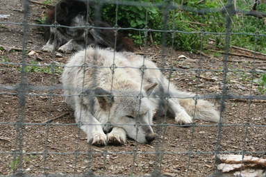 wolf at Wolf Sanctuary of PA photo by Jenn Avery